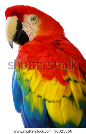 isolated shot of a red blue macaw bird