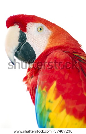 isolated shot of a red macaw bird