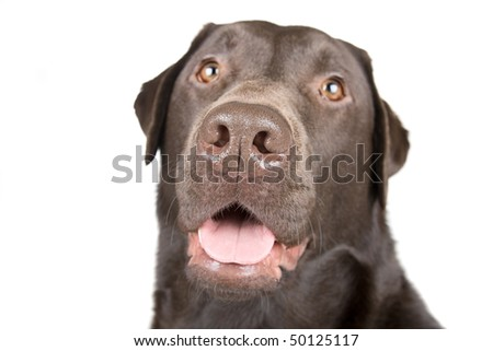 Isolated Shot of a Smiling Chocolate Labrador
