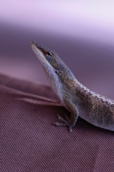 Isolated, side view of Female Anoles, colored light brown on light brown upholstery fabric.