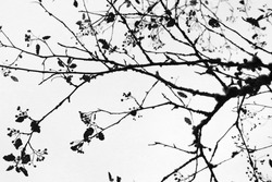 isolated silhouette  tree branches on the white background