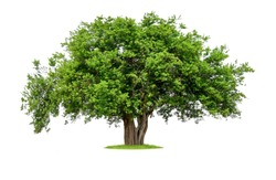 isolated single big tree on white background with clipping path