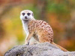 Isolated single meerkat colorful background