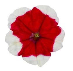 isolated single red and white petunia
