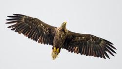 Isolated single white tail eagle soaring in the sky- Danube Delta Romania