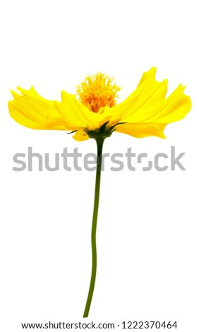 Isolated single Yellow cosmos or sulfur cosmos (Cosmos sulphureus ) flower on white background with clipping path.