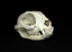 Isolated skull of a feline, a domestic cat, totally fleshless on a black background