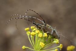 Isolated small long-horned arthropod (Agapanthia cardui, Agapanthia suturalis)