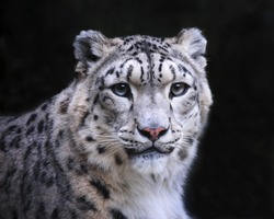 Isolated snow leopard on black background.