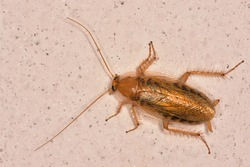 Isolated specimen of Amber wood cockroach (Ectobius vittiventris) stationary on a wall.