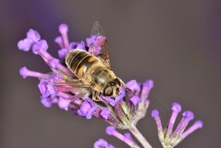 Isolated specimen of Eristalis, a large genus of hoverflies, family Syrphidae, in the order Diptera, photographed here on the Buddleja davidii flower.
