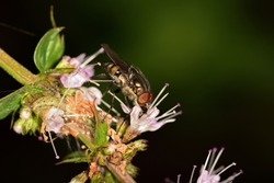 Isolated specimen of fly, belonging to the Diptera family, on wild mint flowers.