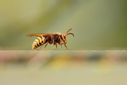 Isolated specimen of Hornet (Vespidae family), photographed with telephoto zoom lens while standing on a handrail on a wall, on a natural bokeh background.