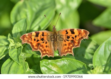 Isolated specimen of Polygonia c-album, butterfly of the family Nymphalidae, on natural background. Stock photo ©