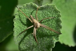 Isolated specimen of spider of the species Pisaura mirabilis, also called nursery web spider, photographed with macro lens on a wild mint leaf.