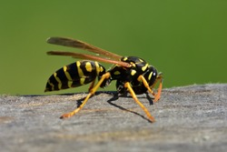 Isolated specimen of Vespula germanica (European wasp, German wasp), while scratching a wooden surface with its jaws, from which cellulose will be obtained, to build the nest.