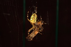 Isolated spider of the species Argiope bruennichi (wasp spider) photographed at night with macro lens and artificial light.