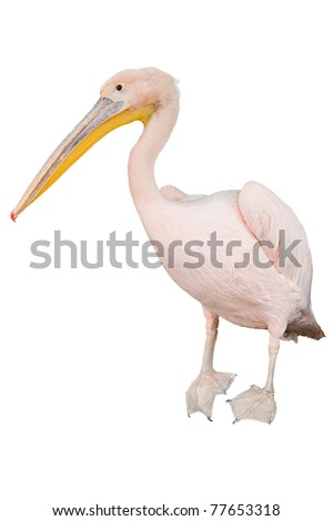 isolated standing pink pelican