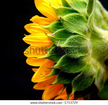 isolated studio shot of a sunflower against a black background