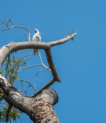 Isolated sulphur crested cockatoo with white feathers and yellow crest perched on tree under a clear blue sky in Darwin, Australia