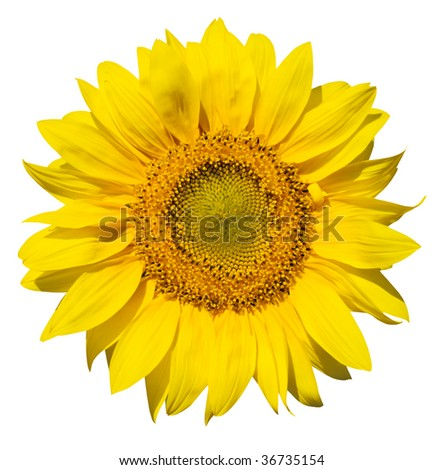 isolated sunflower on white fone