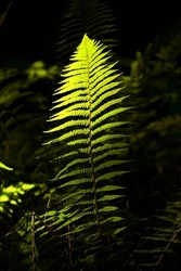 Isolated sunlit luminous ferns Snowshill Woods Cotswolds  Gloucestershire United Kingdom