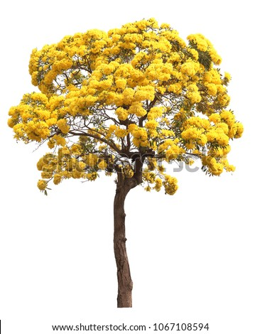 isolated tabebuia golden yellow flower blossom tree on white background #1067108594