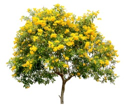 isolated tecoma stans tree, the golden yellow trumpet vine flower blossom shrub specimen, on white background