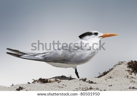 Isolated tern stands in the beach sand