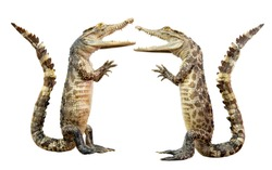 isolated The crocodile stands upright and hands to greet the people.clipping path