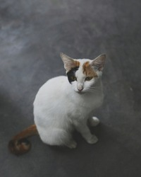 isolated three colored fur cat, most white and little spot black and orange covered the body with orange and black tail stare at something