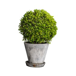Isolated tree, house plant on the gray cement  pot, mockup plant decoration.