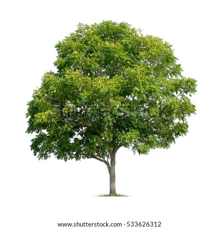Isolated tree on white background #533626312