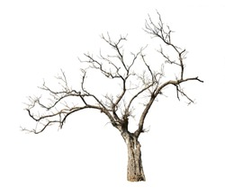 Isolated tree with no leaves or dead tree on white background easy to di-cut and good for graphic design