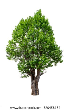 Isolated trees on white background , The collection of trees. - Shutterstock ID 620458184