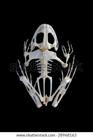 Isolated true rana frog (Rana ridibunda) skeleton on black background