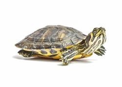 isolated turtle