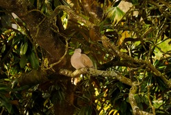 isolated turtledove on a forest tree