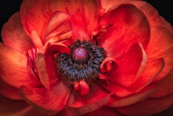 isolated vibrant red buttercup blossom heart macro,fine art still life color close-up of the inner center,detailed texture