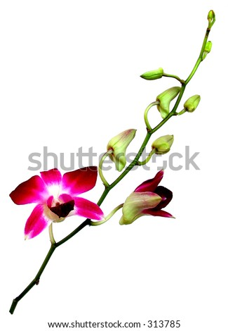 Isolated view of a full branch of an Orchidaceae Dendrobium showing all stages of flowers (full, blooming, buds)