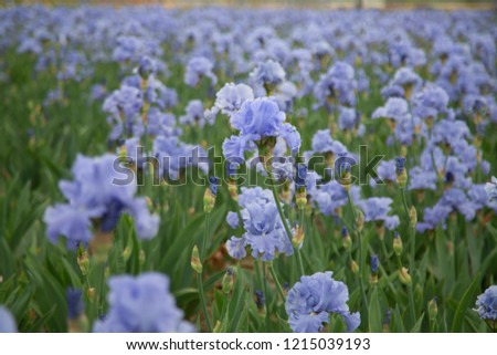 Isolated view of sunlit field of rows of blooming iris lowers, pale blue petals, green leaves, mid-ground focus, daytime \n- selective focus\n