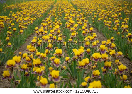 Isolated view of sunlit field of rows of blooming iris lowers, vibrant yellow and purple petals, green leaves, mid-ground focus, daytime