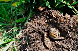 Isolated view of the head of an Eastern box turtle peeking out from its moist, compost burrow. The bright summer sun illuminates the turtle's yellow & brown coloring. A single webbed foot claws ahead.