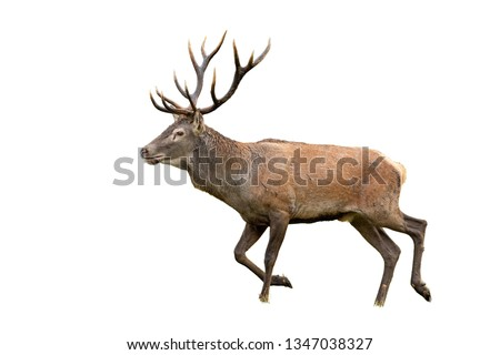 Isolated walking red deer, cervus elaphus, stag with antlers. Mammal galloping on white. #1347038327