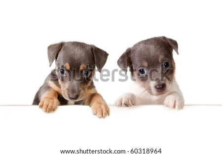 Isolated 6 weeks old jack russel puppy dogs with a white message