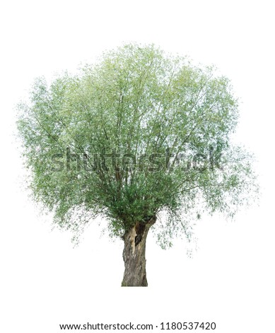 isolated weeping willow on a white background. Spread the willow isolate on a white background. willow with rounded crown on a white background