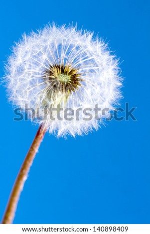 Isolated white dandelion clock against blue sky