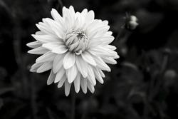 isolated white flower off center Dahlia