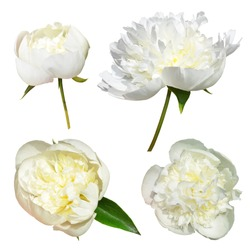 Isolated white peonies flowers on a white background