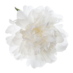 Isolated white peony flower.